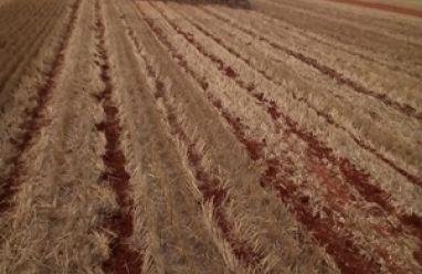 Início safra 2018/19 de algodão sudoeste paulista